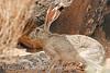 Black-tailed Jackrabbit, NM (27)