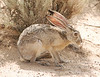 Black-tailed Jackrabbit, NM (16)