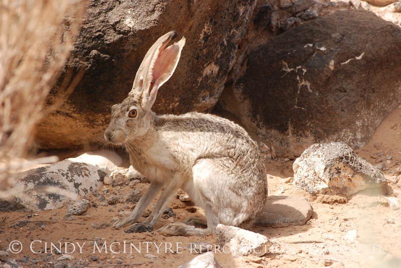 Black-tailed Jackrabbit, NM (34)