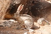 Black-tailed Jackrabbit, NM (34)