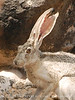 Black-tailed Jackrabbit, NM (30)