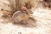 Black-tailed Jackrabbit, NM (22)