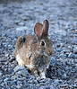 Cottontail, CO (1)