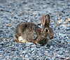 Cottontail, CO