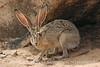 Black-tailed Jackrabbit, NM (44)