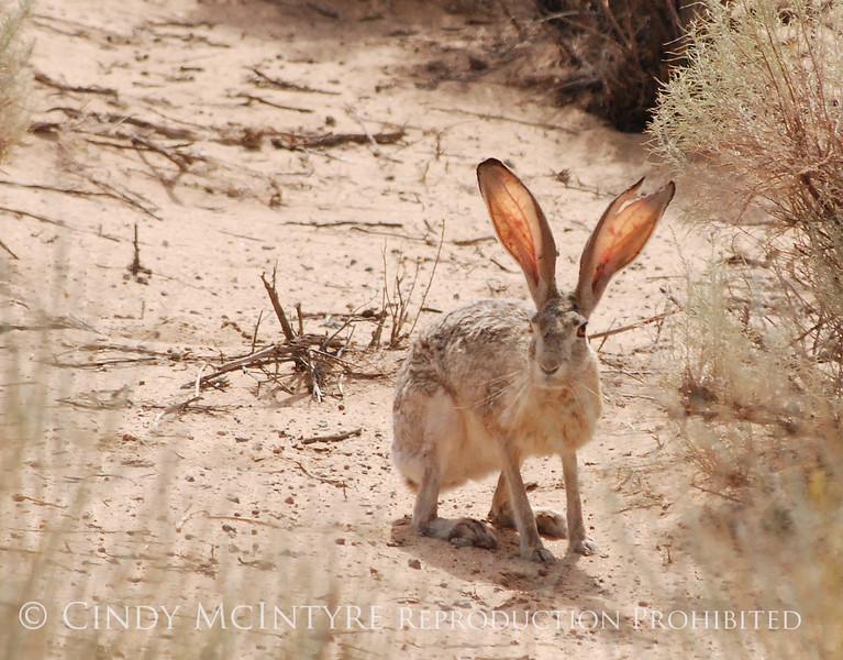 Black-tailed Jackrabbit, NM (6)