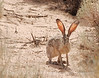Black-tailed Jackrabbit, NM (6)