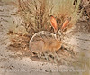 Black-tailed Jackrabbit, NM (13)