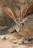 Black Tailed Jackrabbit NM (2)