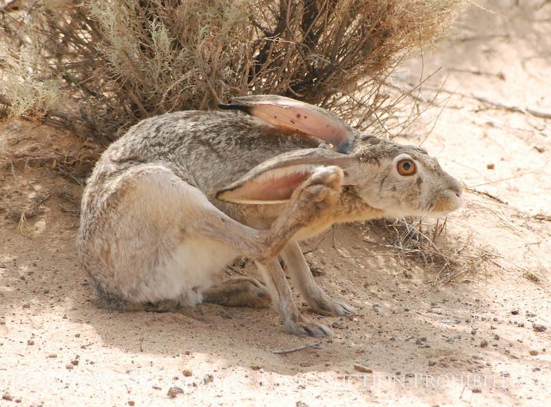 Black-tailed Jackrabbit, NM (18)