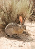 Black-tailed Jackrabbit, NM (14)