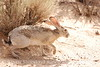 Black-tailed Jackrabbit, NM (23)