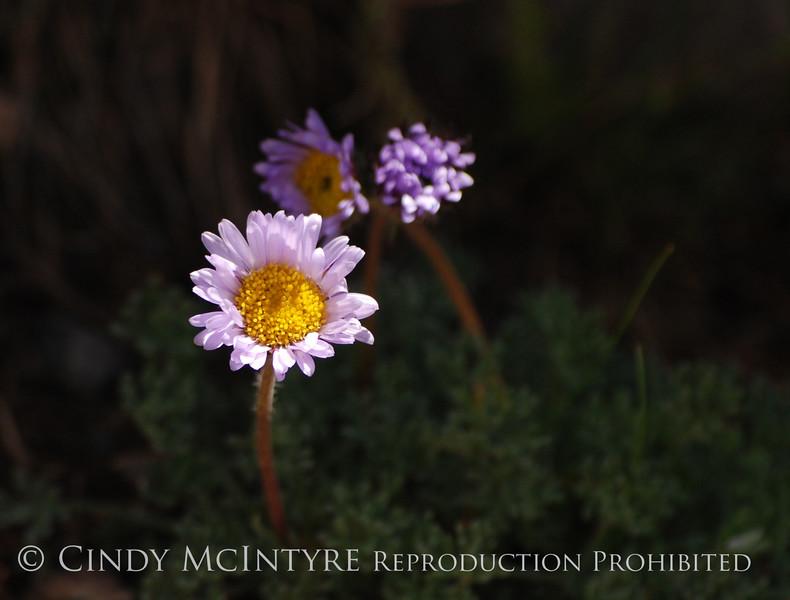 Erigeron compositus daisy, San Juan Mts CO (3)