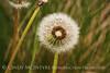 Dandelion (5)