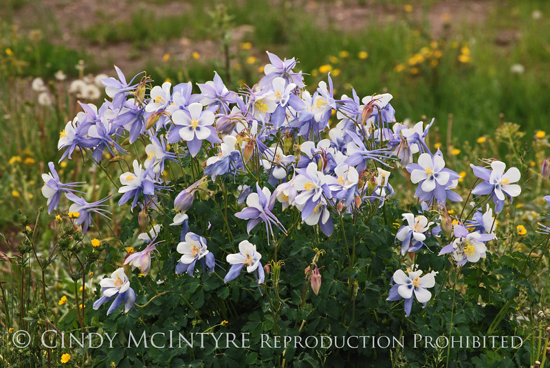 Colorado Columbine, San Juan Mts CO (23)