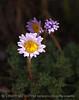Erigeron compositus daisy, San Juan Mts CO (1)