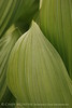 Colorado False Hellebore (11)