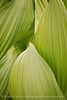 Colorado False Hellebore (7)
