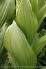Colorado False Hellebore (8)