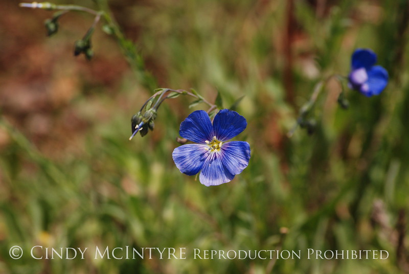 Blue Flax, San Juan Mts CO