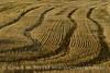 Wheat fields, Hayden CO (2)