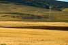 Sandhill cranes and power lines, Hayden CO (1)