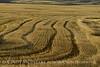 Wheat fields, Hayden CO (1)