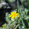 From our June 2014 trip. Some flavor of arnica??