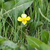 Yellow violet (Nuttall's violet?)