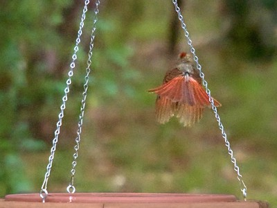 +Young Cardinal in Flight