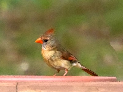 ++Young Cardinal in Flight – Version 4