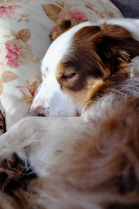 dogs sleep 22 hours per day