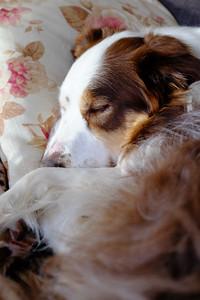 dogs sleep 22 hours per day