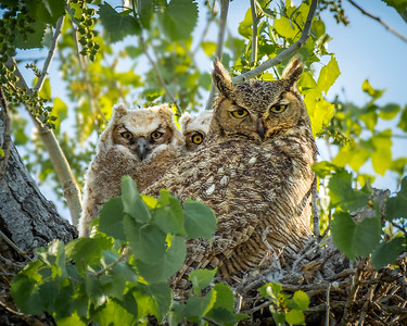 Great-horned Owl Family