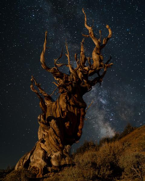 Bristlecone Pine under stars