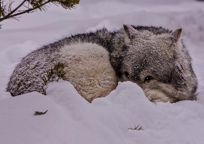 Wolf 3-Edit