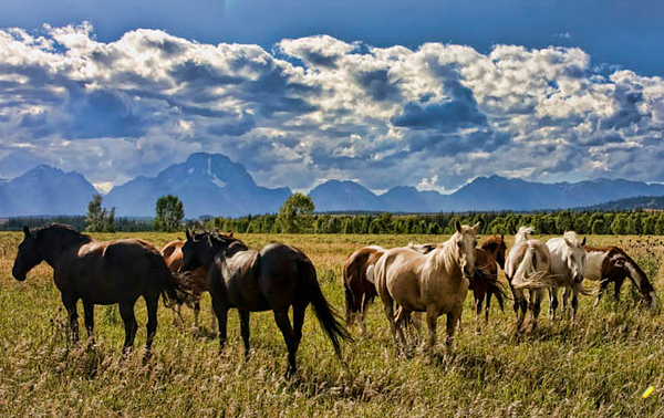 Horses, Grand Teton National Park