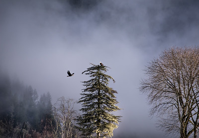 Pull up a branch!  A large adult bald eagle glides in for landing while another maintains its perch.