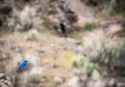Mountain bluebird atop Steamboat Rock
