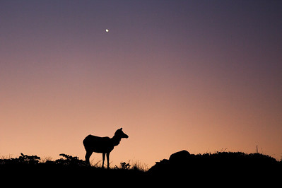 Tule Elk Sunrise under Venus