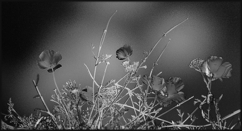 Poppies Mono