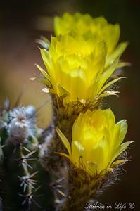 A beautiful barrel cactus bloom at the Phoenix Desert Botanical Gardens