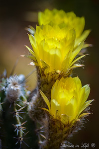 A beautiful barrel cactus bloom at the Phoenix Desert Botanical Gardens