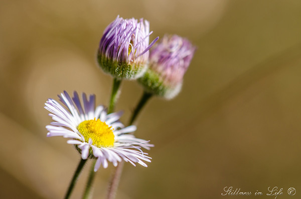 I was on a backpacking trip in the Superstition Wilderness with a group of fantastic folks. We came to one of my favorite places on the trip which is a meadow. These little flowers were spotting the side of the trail. I had to stop and capture the memory.