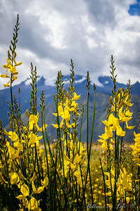 The Andes have the back of these incredibly lucky and beautiful wild flowers.