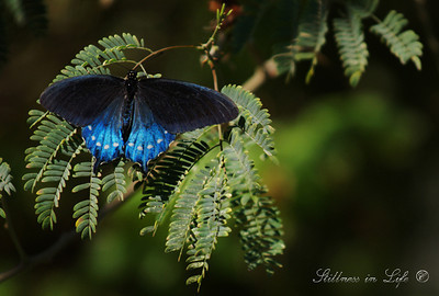 This particular photo is of a Pipevine Swallowtail Butterfly. Each year in spring the Desert Botanical Gardens in Phoenix have a butterfly display.  I could spend hours in the display watching these beautiful insects.  Each year I make it a point to go.  On my last visit one of the volunteers informed me most of the butterflies only had a 2 week life expectancy.  So  much beauty in such a short span of time.