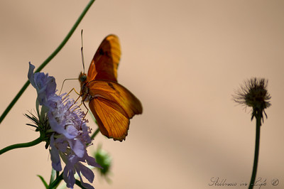 Another visit to the Desert Botanical Gardens in Phoenix produced this image of the Julia butterfly.  This image represented to me the ever so short cycle of a butterfly's life and the circle of life in general that we so often see in Mother Nature.