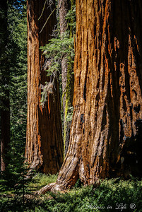 The giant sequoias reside only in the Sierra Nevada Mountains in California.  These giants have an awesome presence that represent the test of time, patience and tranquility like no other.