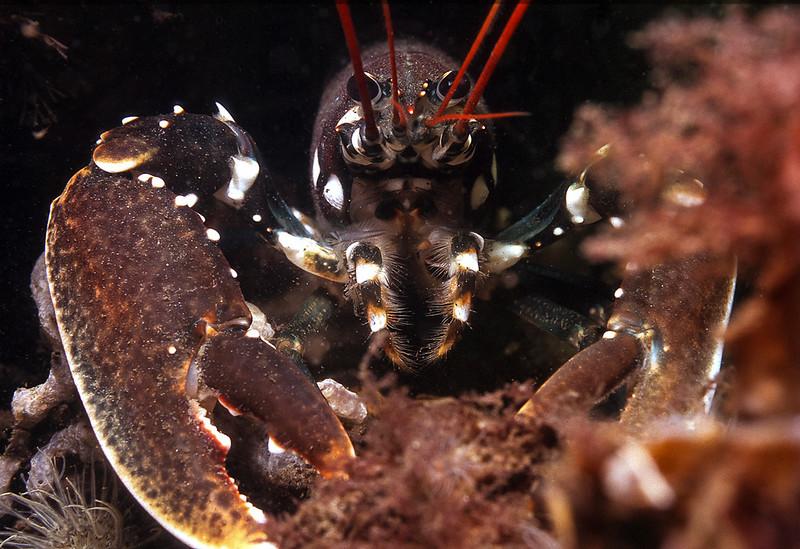 Lobster, Grevelingen.