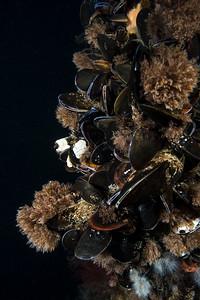 Mussels, Grevelingen.